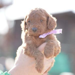 medium poodle puppy / ミディアムプードル 子犬