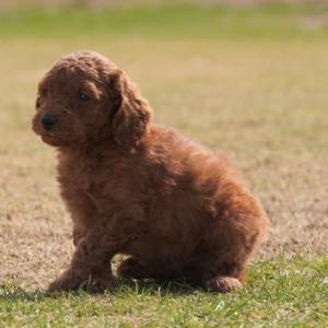ミディアムプードル子犬 画像