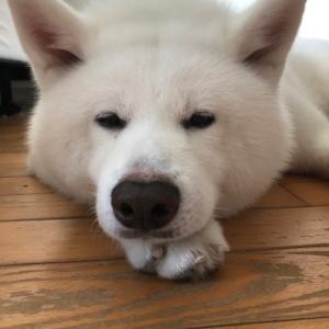 秋田犬かわゆ~い ねんねポーズ