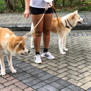 秋田犬に遭遇。。。。