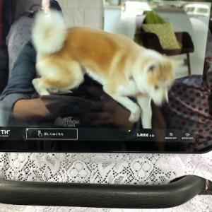 秋田犬を甘くみないでくれだわん。。。