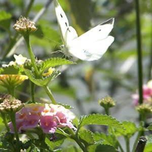 蝶々が沢山のお散歩