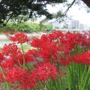 ご近所で彼岸花が咲いて来ました(9月16日)他