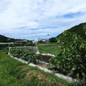 ダイコンずらしまき☆葉山農園(9月初旬)