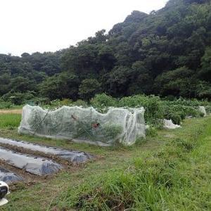 スイカ☆葉山農園(9月初旬)