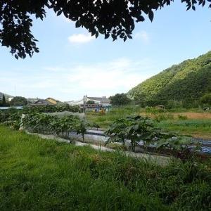 カリフラワー☆葉山農園(9月上旬)