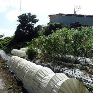 葉山野菜栽培記(9月上旬)☆エシャレットとブロッコリー