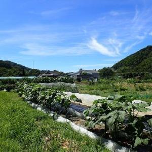 ブロッコリーと耕運機☆葉山農園(9月上旬)
