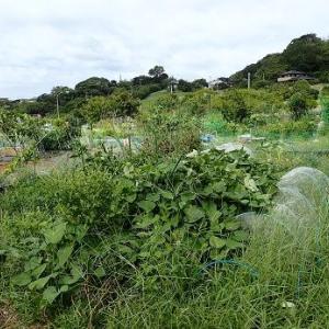 週末菜園(9月上旬)☆大豆栽培?