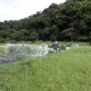 秋ヤングコーン☆葉山農園(9月中旬)