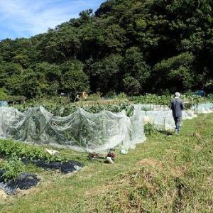 オクラのイボ果☆葉山農園(10月上旬)