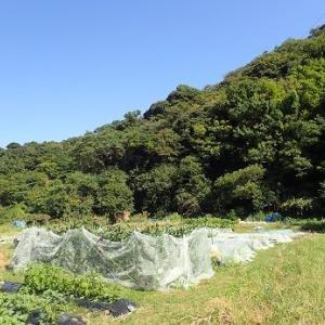芽キャベツの葉かき☆葉山農園(10月上旬)