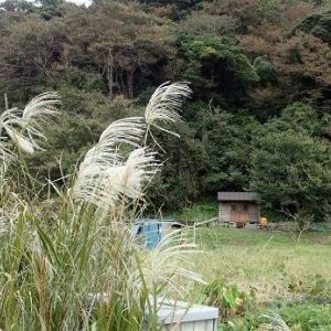 芽キャベツ支柱立て☆葉山農園(10月中旬)