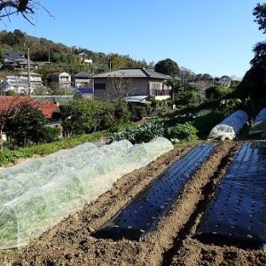春どりキャベツ☆葉山野菜栽培記(11月上旬)