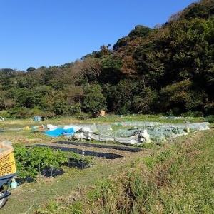 初春ブロッコリー☆葉山農園(11月上旬)
