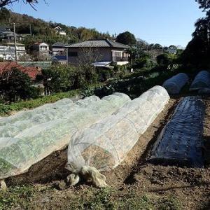 冬至カボチャ追肥☆葉山野菜栽培記(10月上旬)