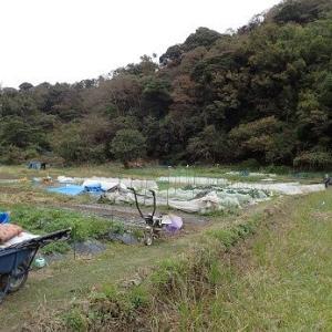 サヤエンドウ定植&防寒対策☆葉山農園(11月中旬)