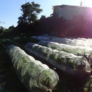 キャベツ収穫☆葉山野菜栽培記(11月中旬)