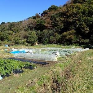 スナップエンドウ☆葉山農園(11月中旬)
