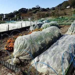ケール収穫☆週末菜園(11月中旬)