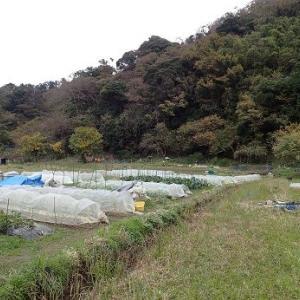 ハクサイ混植とキャベツ☆葉山農園(12月初旬)