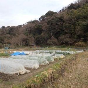 巻かない芽キャベツ☆葉山農園(1月中旬)
