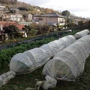 斜面の畑を平地に☆葉山野菜栽培記(1月中旬)