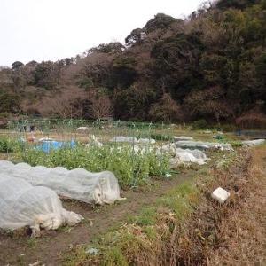 老化ブロッコリーその後☆葉山農園(2月中旬)