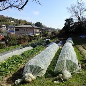 ニンニク追肥時期☆葉山野菜栽培記(2月中旬)