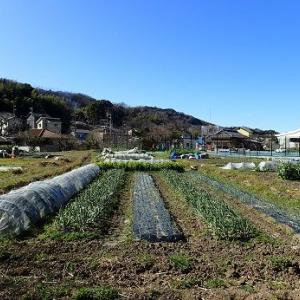老化キャベツ苗☆葉山農園(2月下旬)