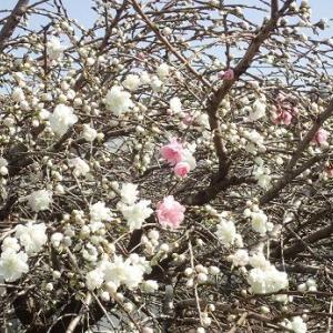 耕運機日和☆葉山野菜栽培記(3月下旬)
