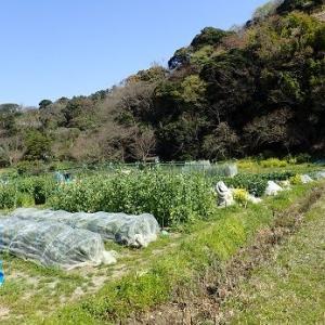 トウモロコシ・エダマメ発芽☆葉山農園(4月初旬)