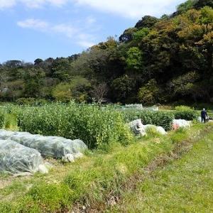 ズッキーニ雄雌と耕運機☆葉山農園(4月中旬)