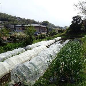 ナス植え付け&草刈り☆葉山野菜栽培記(4月中旬)