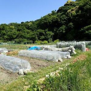 ジャガイモの葉に黒い斑点☆葉山農園(5月下旬)
