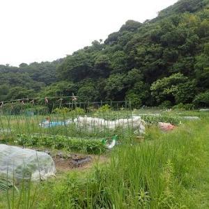 爆発キャベツ大失敗!☆葉山農園(6月上旬)