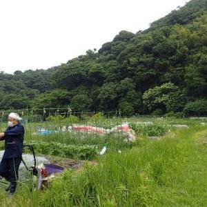 小玉スイカ定植☆葉山農園(6月上旬)