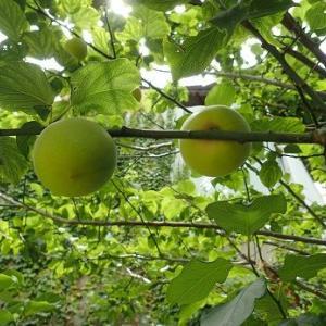 大玉トマト収穫☆葉山野菜栽培記(6月中旬)