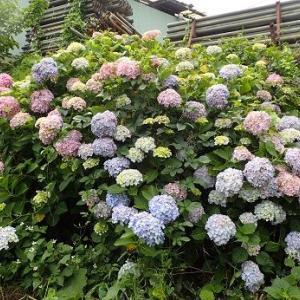 ナス最盛期到来☆葉山野菜栽培記(6月中旬)