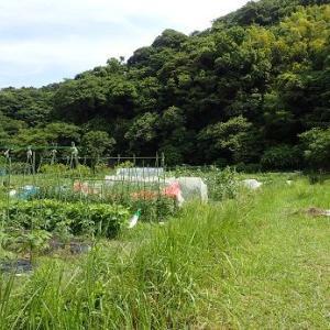 オクラ成長の差☆葉山農園(6月下旬)