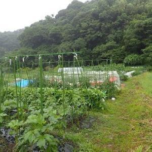 フルティカトマト☆葉山農園(7月初旬)