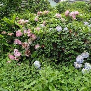 プリンスメロン収穫目安☆葉山野菜栽培記(7月上旬)