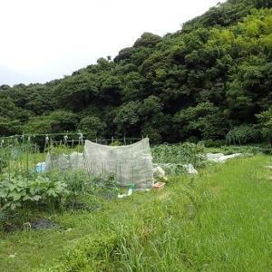 スイカ敷き藁ネット☆葉山農園(7月中旬)