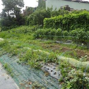 ゴーヤ収穫タイミング☆葉山野菜栽培記(7月中旬)