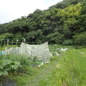 キュウリ実の食害☆葉山農園(7月中旬)