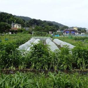 ピーマンネット誘引☆葉山農園(7月中旬)