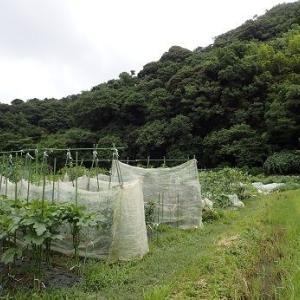 ズッキーニ整枝☆葉山農園(7月下旬)