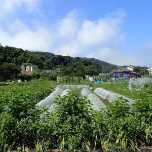鈴なりトマト☆葉山農園(7月下旬)