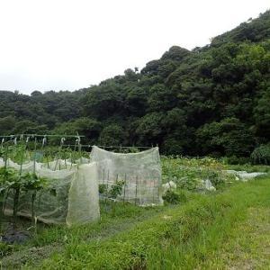クウシンサイ摘心収穫☆葉山農園(7月下旬)