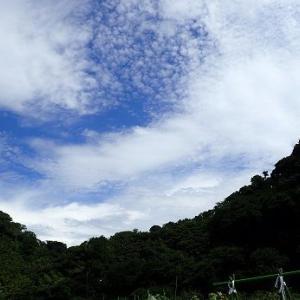 トウモロコシ雄花と水没☆葉山農園(8月初旬)